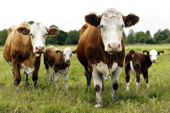 Landmand sigtet: Brand kostede 65 kalve livet