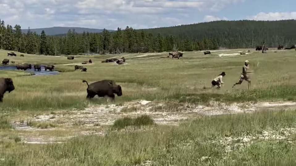To personer flygter fra en bison i nationalparken Yellowstone i USA