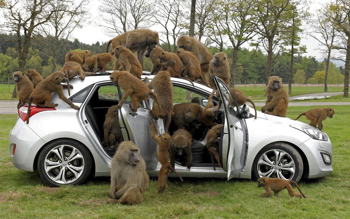 En grå personbil fyldt med aber.