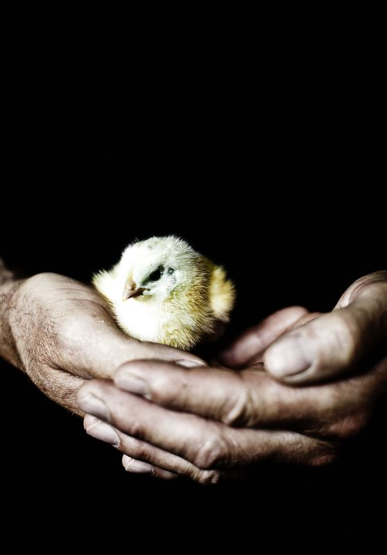 El lille kylling ligger trygt  i et par store mandehænder