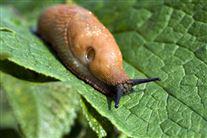 iberisk skovsnegl - også kendt som dræbersnegl