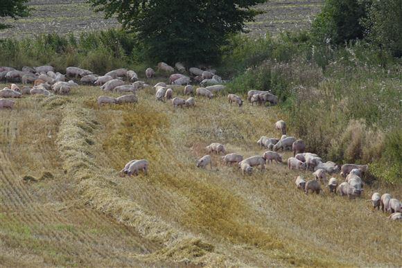 masser af svin på en kornmark
