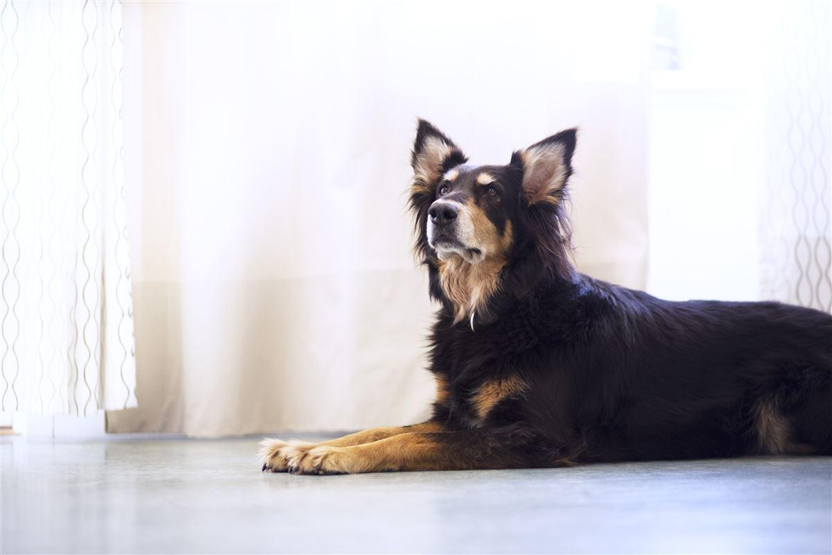Liggende hund på gulv