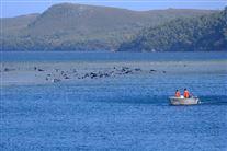 Strandede grindehvaler på Tasmaniens vestkyst