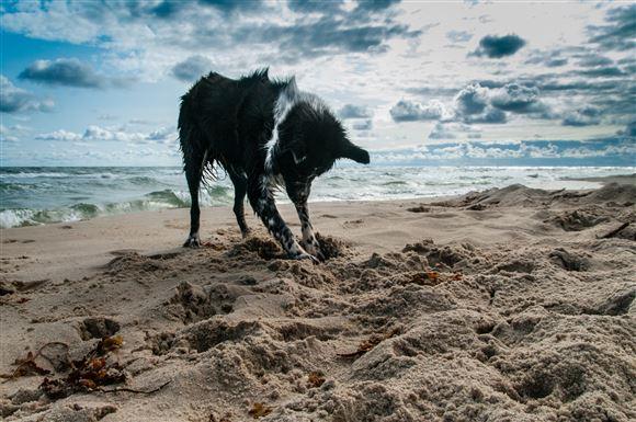 En collie graver i sandet med havet som baggrund