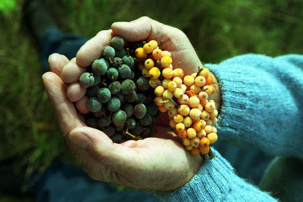 Med to hænder vises en håndfuld bitre bær i form af en klase mørke bær og en bunke gul havtorn