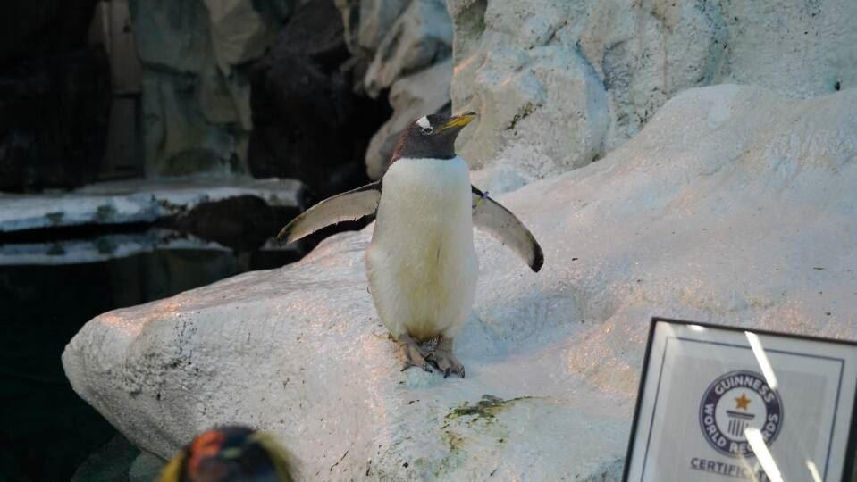 gammel pingvin står og kigger i Odense Zoo.