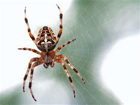 En lille korsedderkop i et spind