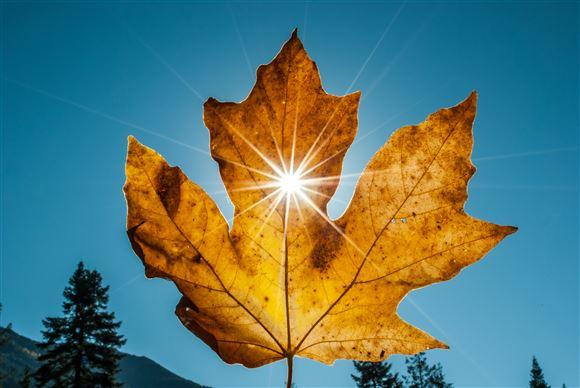 Et visent blad holdes op foran solen, som stråler igennem på en skyfri himmel.