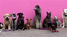 En broget flok hunde fotograferet op ad en pink mur.