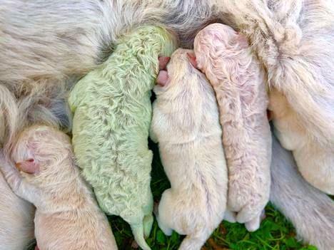 grøn hvalp dier hos moderen sammen med fire hvide søskende