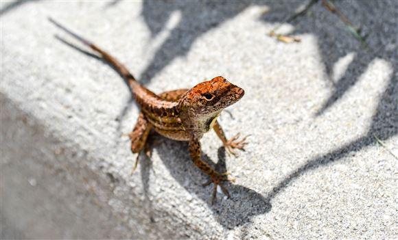 gekko kravler på murværk
