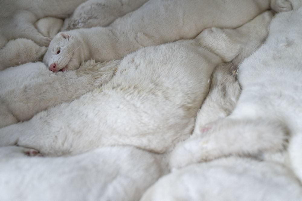 En bunke hvide døde mink ligger oveni hinanden.