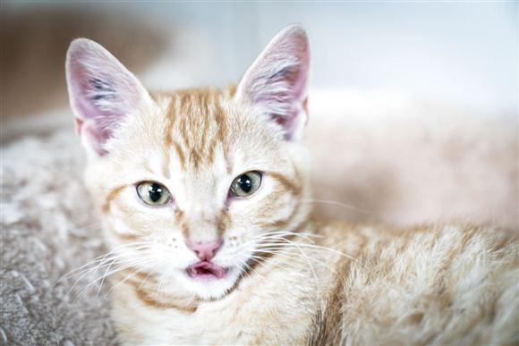 Kat med spidsede ører
