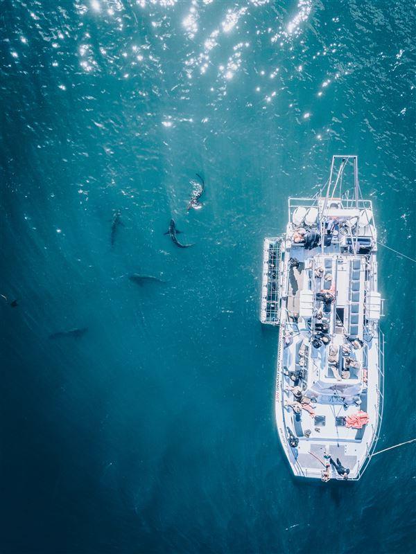 En hajbåd ovenfra med masser af hajer i vandet omkring den
