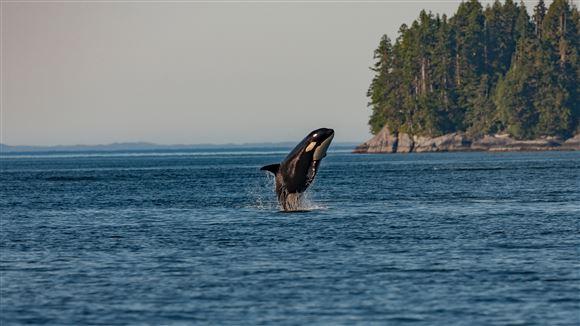 En spækhugger springer op af vandet