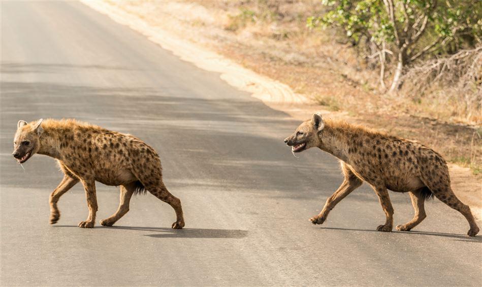 to hyæner krydser vej