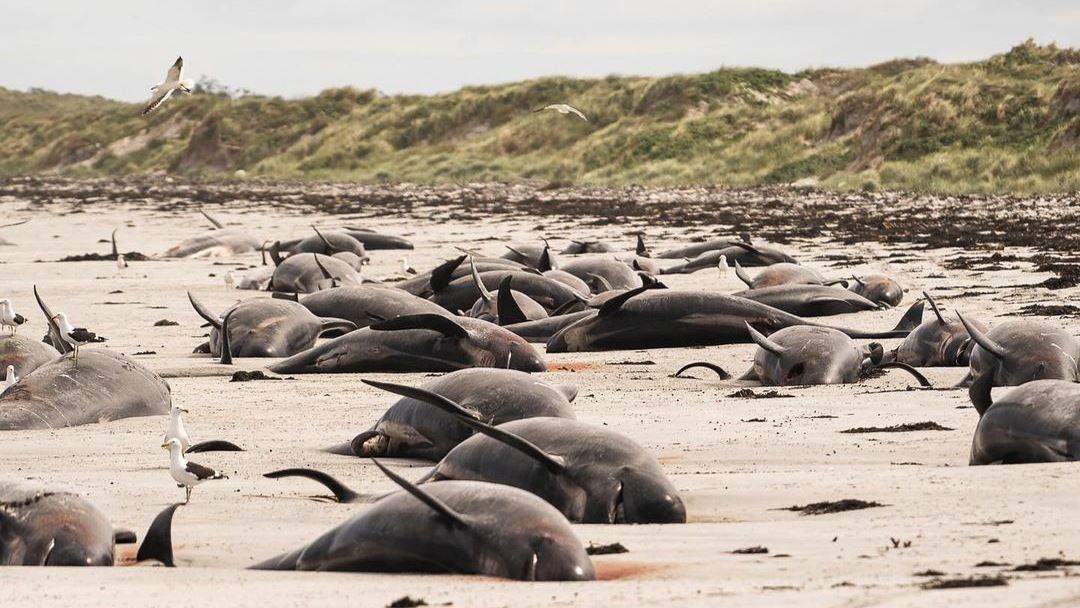 adskillige døde hvaler på strand