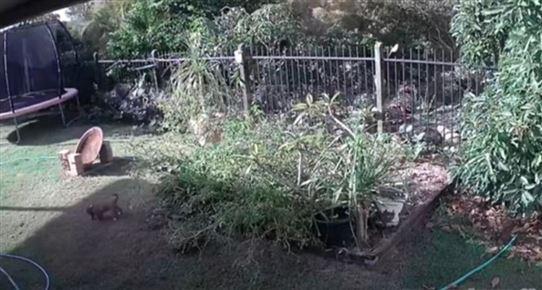 En overvågningsvideo med en lille hund i en have