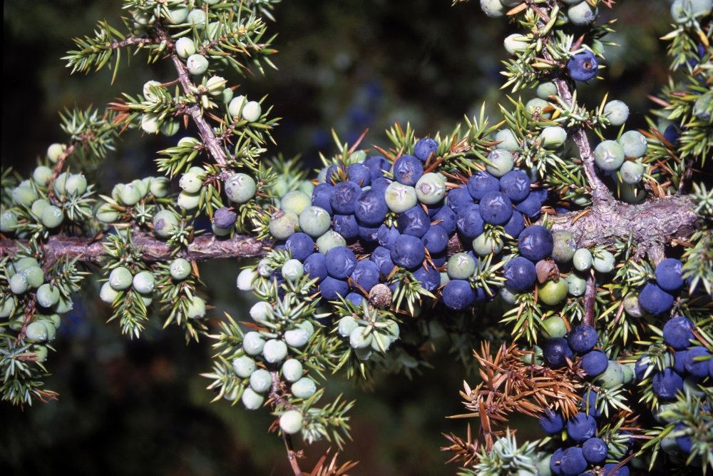 billede af enebær