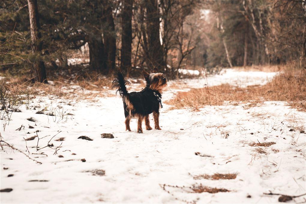 En hund løber en tur