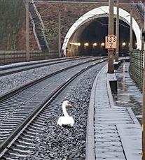 en svane står på et jernbanespor