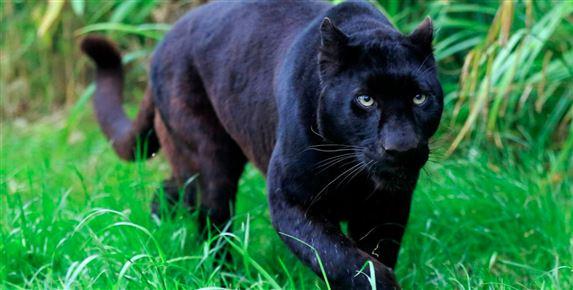 En sort panter lister sig af sted