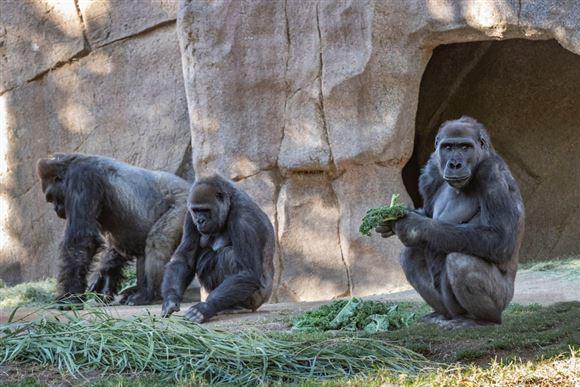 billede af gorillaer i San Diego Zoo Safari Park