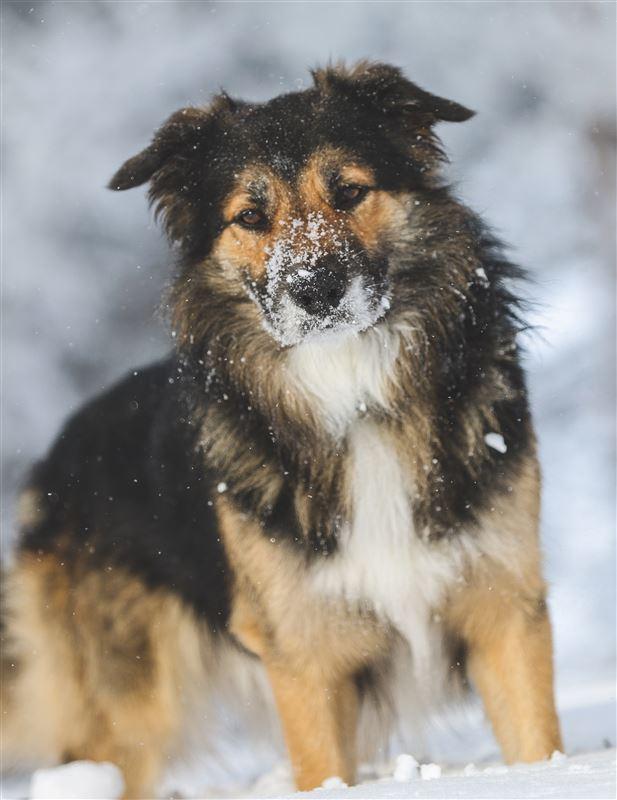 En hund med sne om snuden