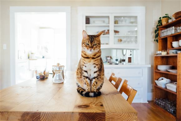 En kat på et køkkenbord