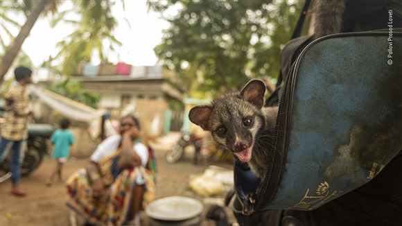 en palmeruller-killing stikker hovedet op af en taske