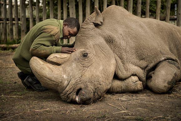 mand knæler ved døende næsehorn