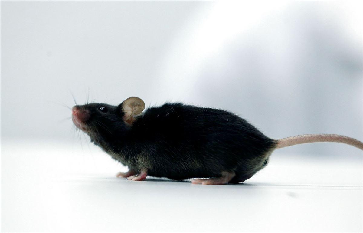 sort mus på et bord