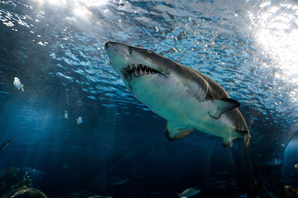haj lige under vandoverfladen set nedefra