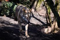 Billede af en ulv
