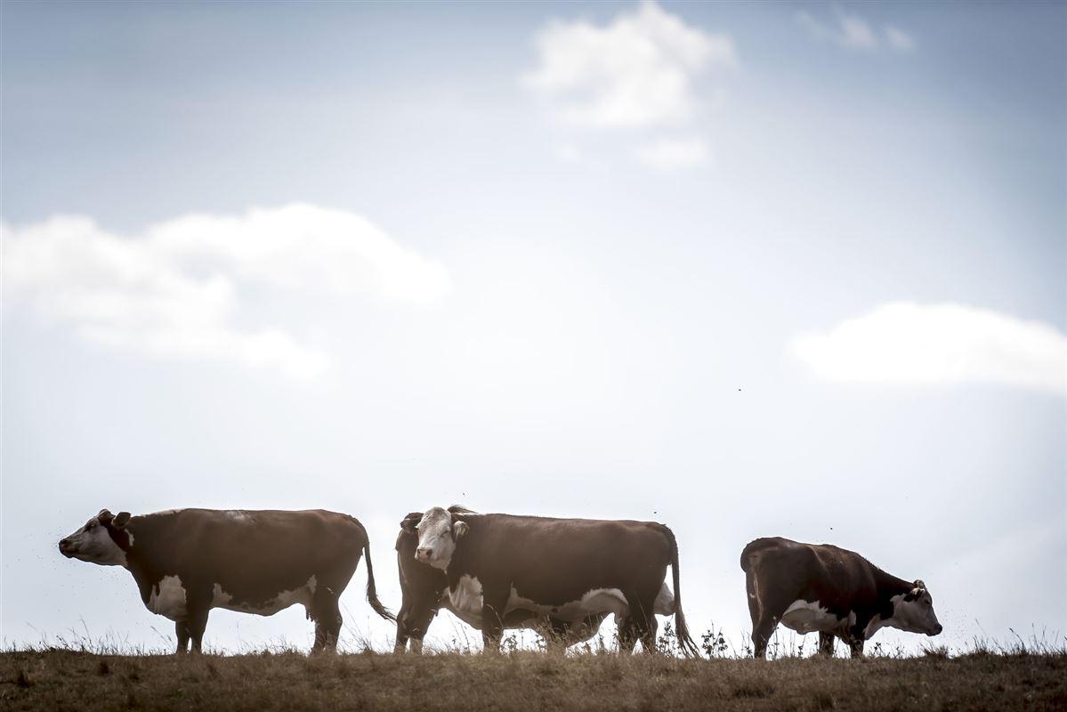 tre køer på en mark