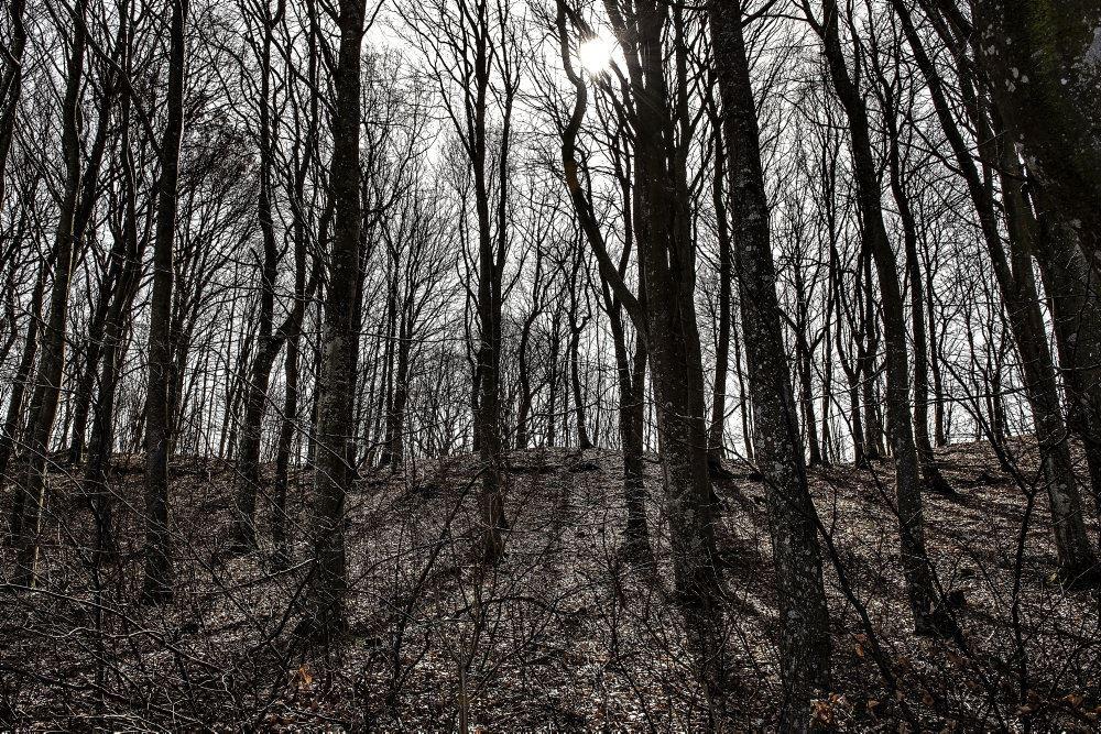 En skov med mørke træer