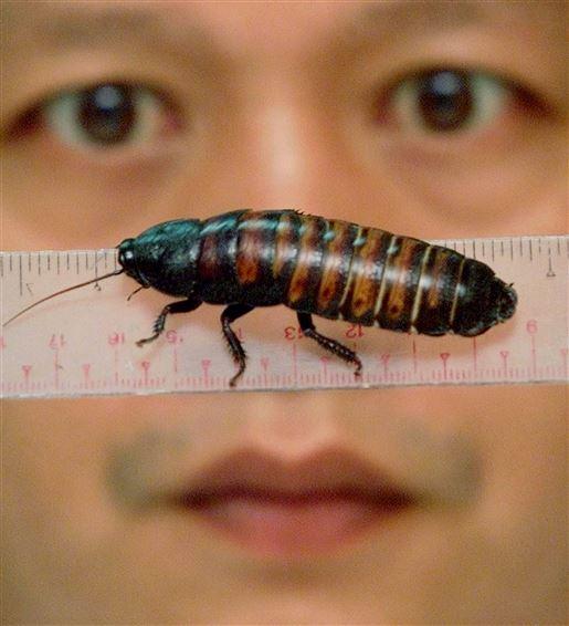 En stor kakerlak