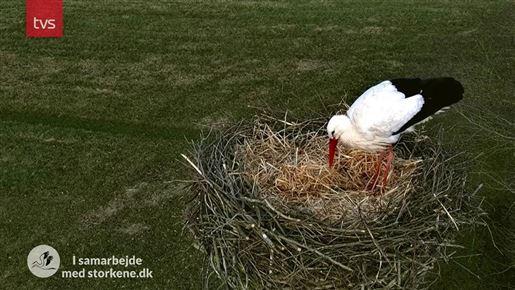 stork i rede i sønderjylland