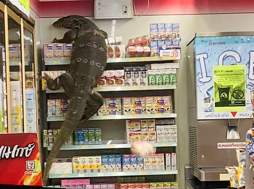 kæmpe varan kravler op ad hylde i supermarked