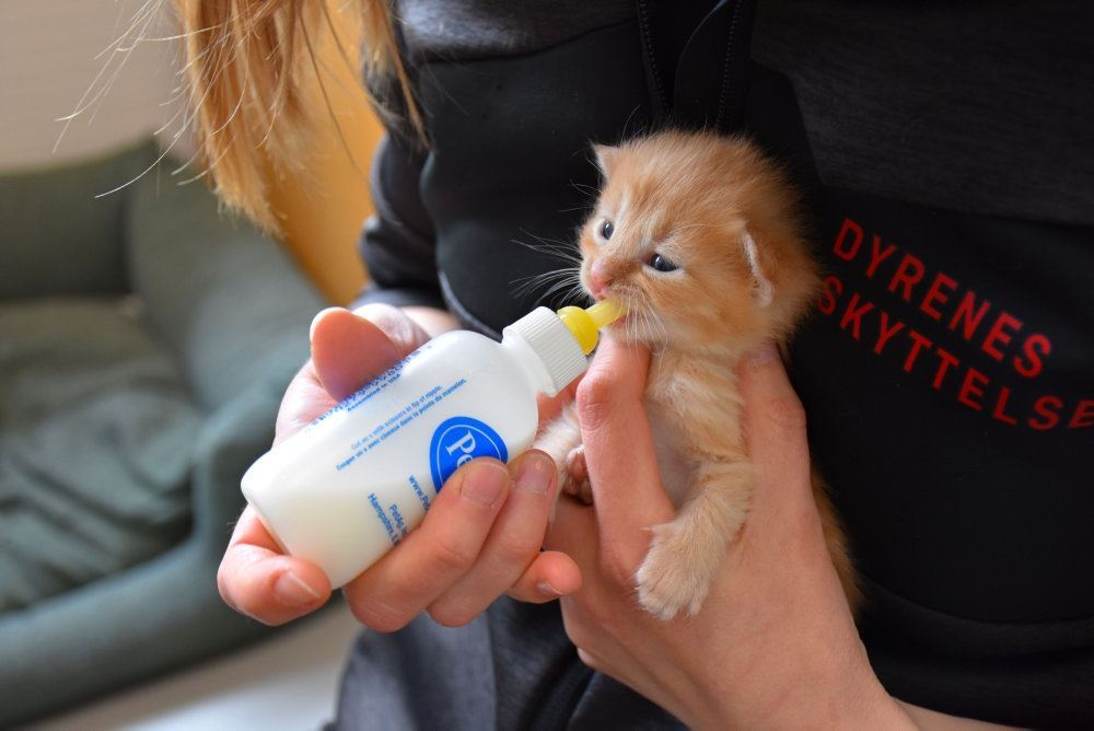 En lille rødgul killing får sutteflaske på skødet af en kvinde.