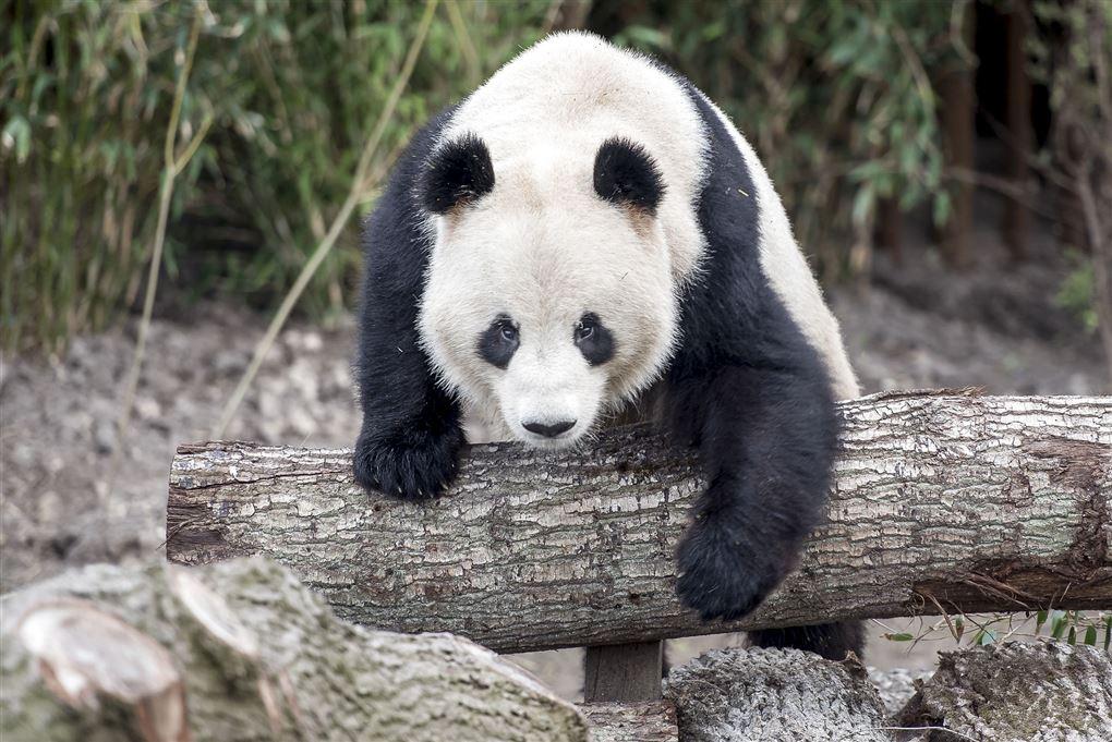 panda sidder på træstamme