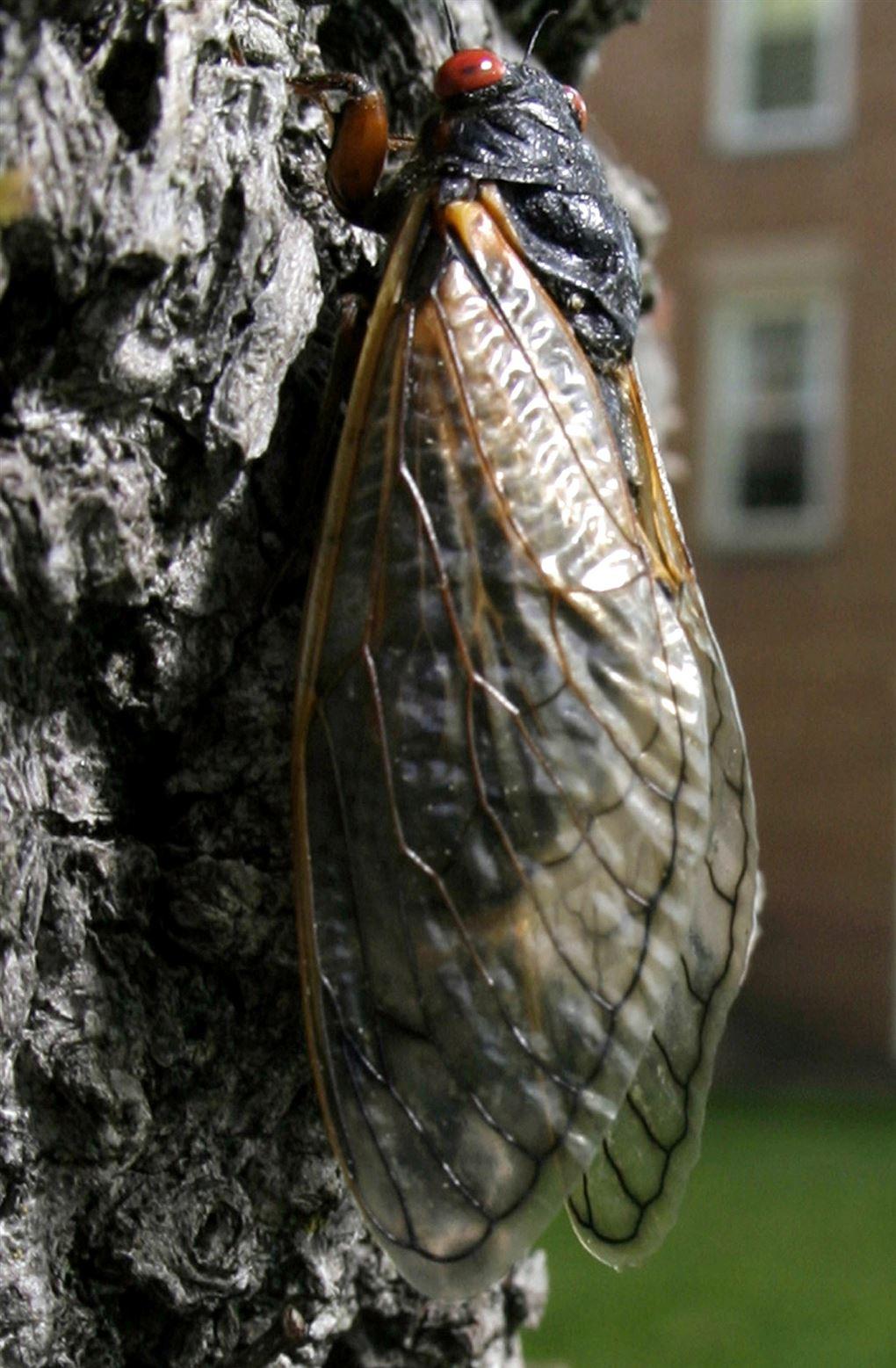 En cikade på en træstamme