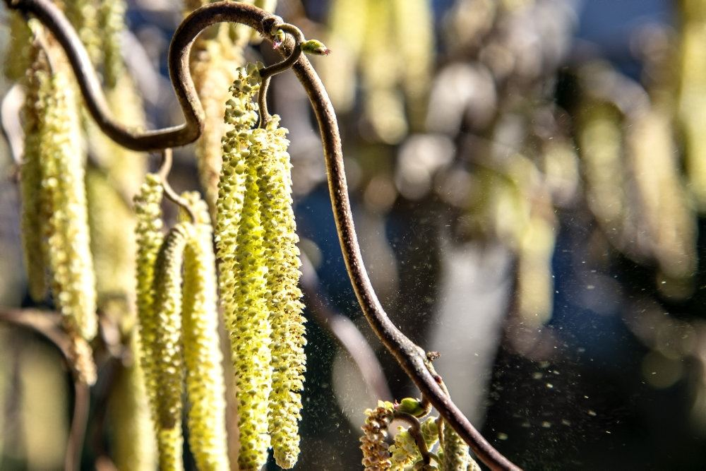 pollen på hasselbusk