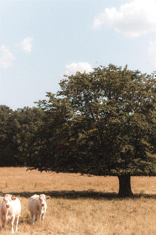Et træ med to køer neden foran.