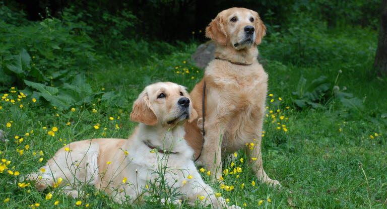 to opmærksomme hunde på mark