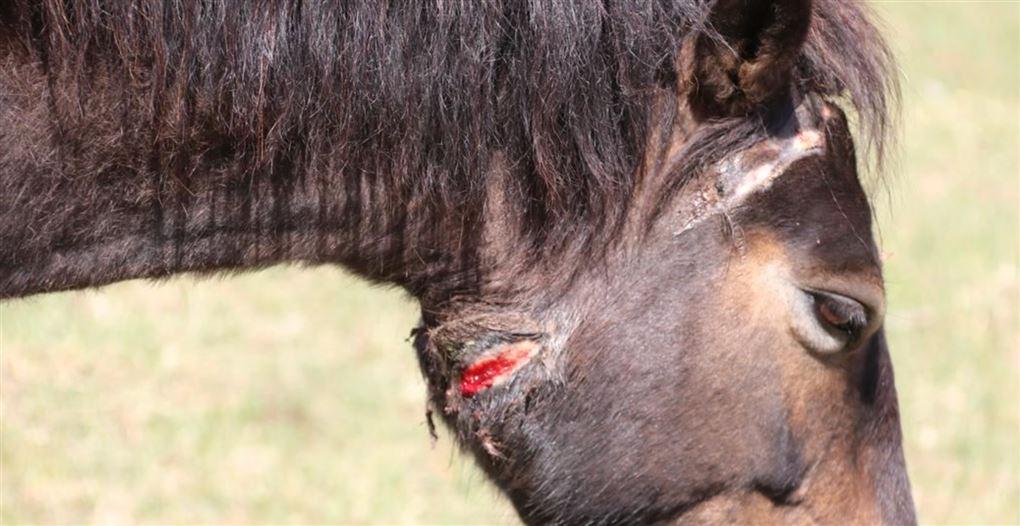 En hest med et stort sår