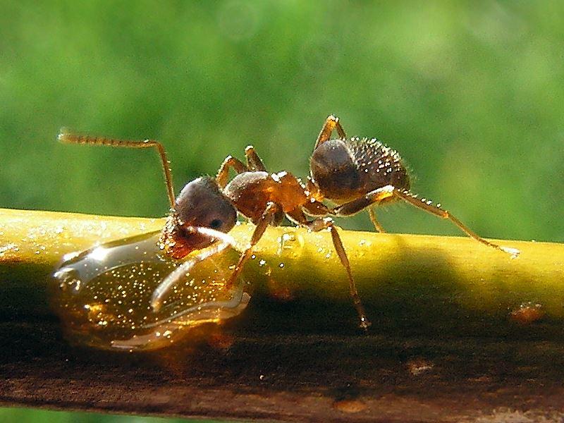 billede af en myre