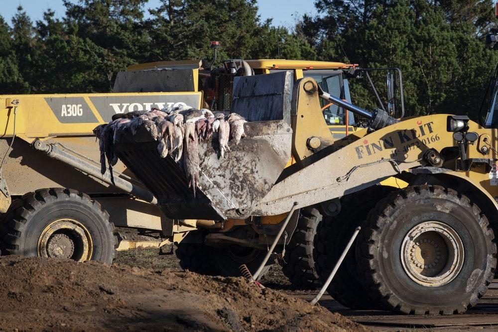gravemaskine med døde mink