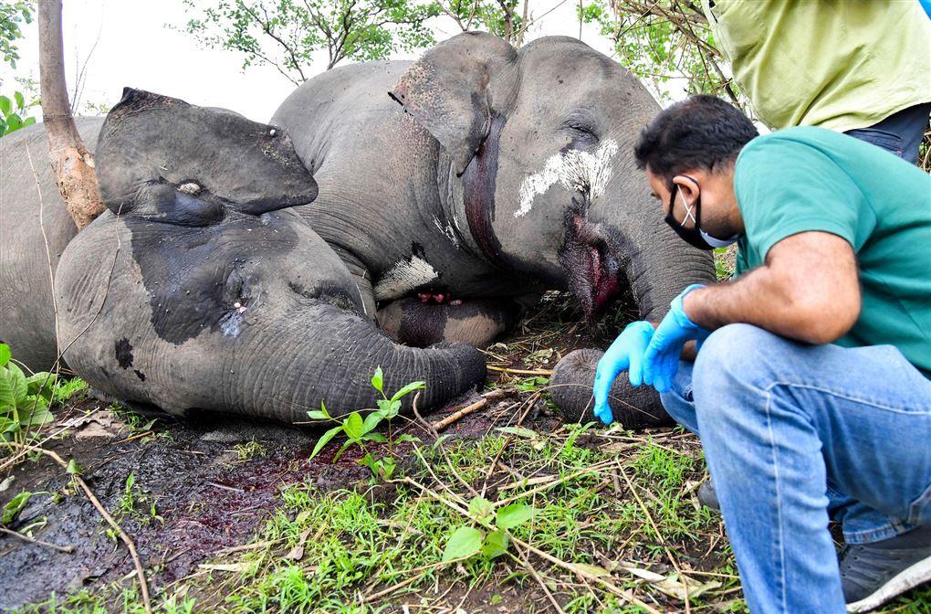 Mand kigger på to døde elefanter